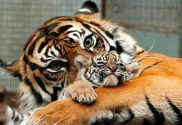 tigre-mama-y-bebe
